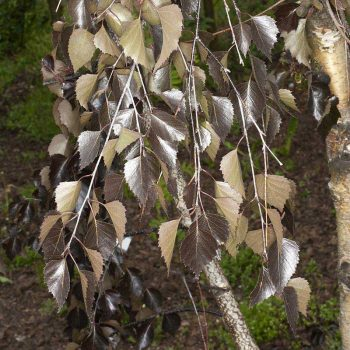Betula_pendula_Purpurea_TOM_6372