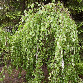Betula_pendula_Youngii_TOM_6285