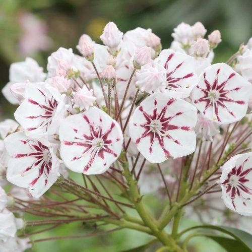 Kalmia_latifolia_Peppermint_KUS_4397