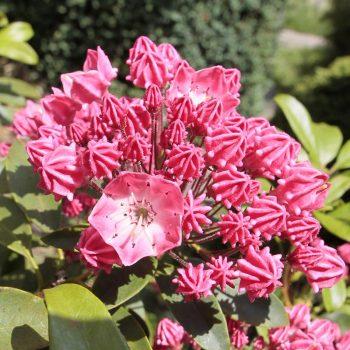 Kalmia_latifolia_Pinkobello_KUS_4677