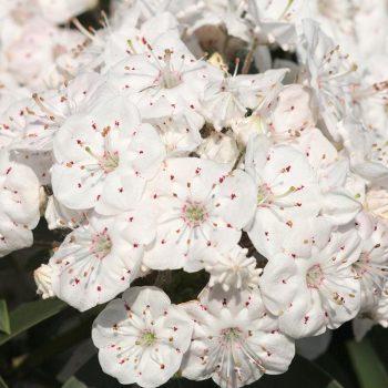 Kalmia_latifolia_Vanilla_Cream_KUS_8835
