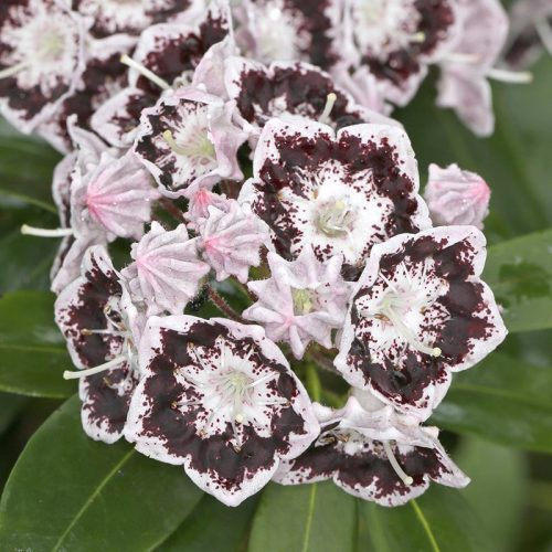 Kalmia_latifolia_black_label_XK_2602
