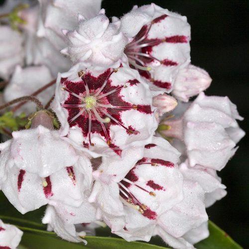 Kalmia_latifolia_bumblebee_XK_6168