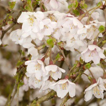 Prunus_incisa_Kojou-no-mai_KUS_0676