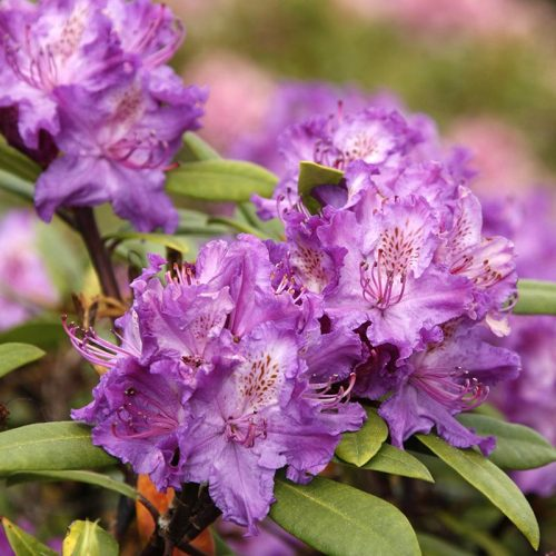 Rhododendron_hybr_Alfred_KUS_3621