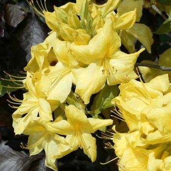 Rhododendron_hybr_Anneke_U_4