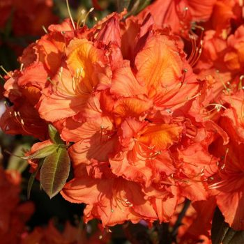 Rhododendron_hybr_Apricot_U_1