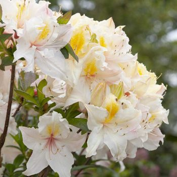 Rhododendron_hybr_Arima_KUS_7301