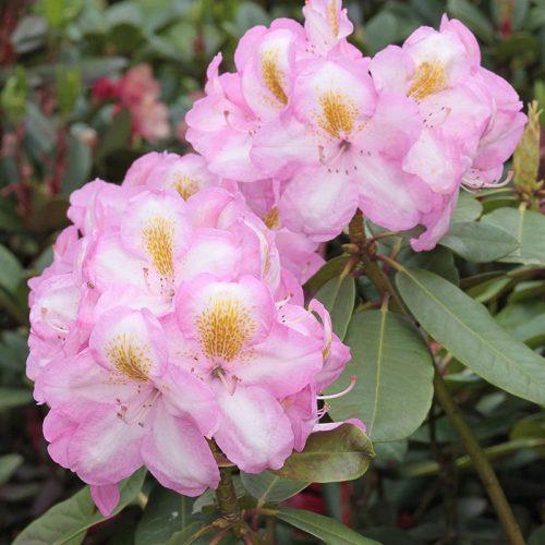 Rhododendron_hybr_Arkadius_KUS_2930