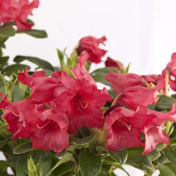 Rhododendron_hybr_Bengal_U_1337a