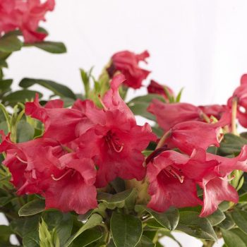 Rhododendron_hybr_Bengal_U_1337a