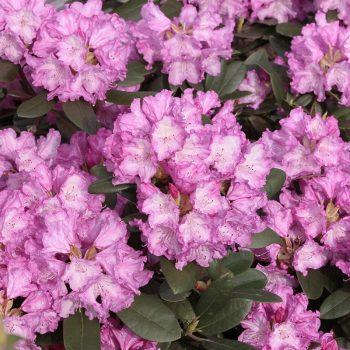 Rhododendron_hybr_Blurettia_KUS_2549