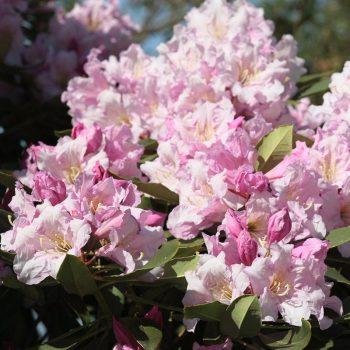 Rhododendron_hybr_Cadis_KUS_8455