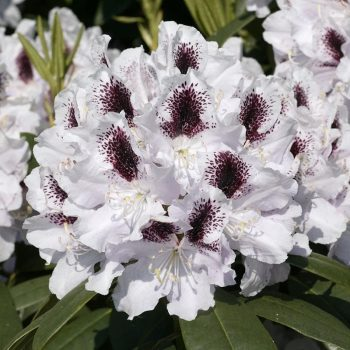 Rhododendron_hybr_Calsap_U_20031