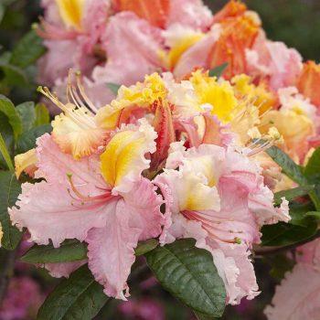 Rhododendron_hybr_Caparo_KUS_7261