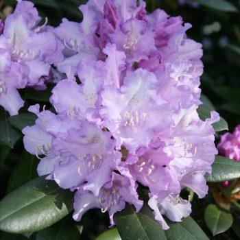 Rhododendron_hybr_Caroline_Allbrook_U_9698
