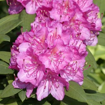 Rhododendron_hybr_Catharina_van_Tol_U_9