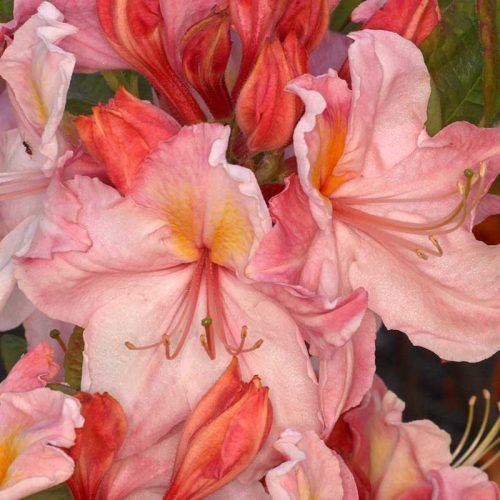 Rhododendron_hybr_Cecile_U_2