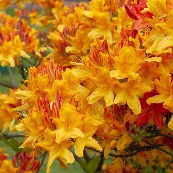 Rhododendron_hybr_Christopher_Wren_KUS_2992