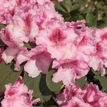 Rhododendron_hybr_Claudius_KUS_7190