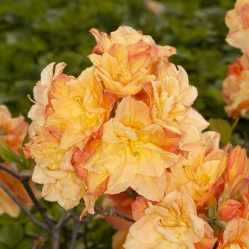 Rhododendron_hybr_Csardas_U_4244