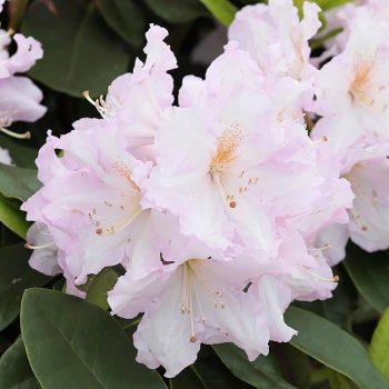 Rhododendron_hybr_Dagmar_KUS_3145