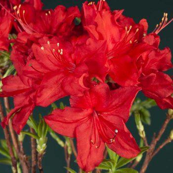 Rhododendron_hybr_Dolorosa_U_1556