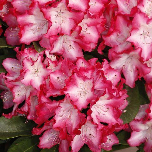 Rhododendron_hybr_Eruption_KUS_2625
