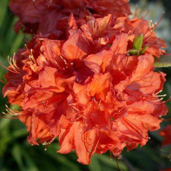 Rhododendron_hybr_Feuerwerk_U_2