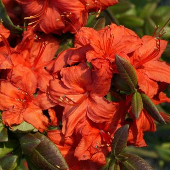 Rhododendron_hybr_Fireball_U_1
