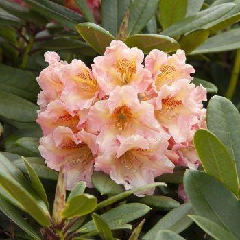 Rhododendron_hybr_Flautando_KUS_3464