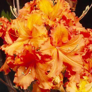 Rhododendron_hybr_Gibraltar_U_2688