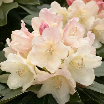 Rhododendron_hybr_Golden_Torch_U_1