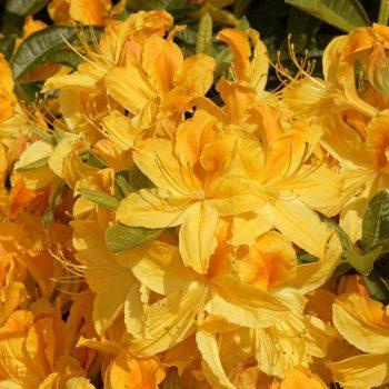 Rhododendron_hybr_Goldtopas_U_5