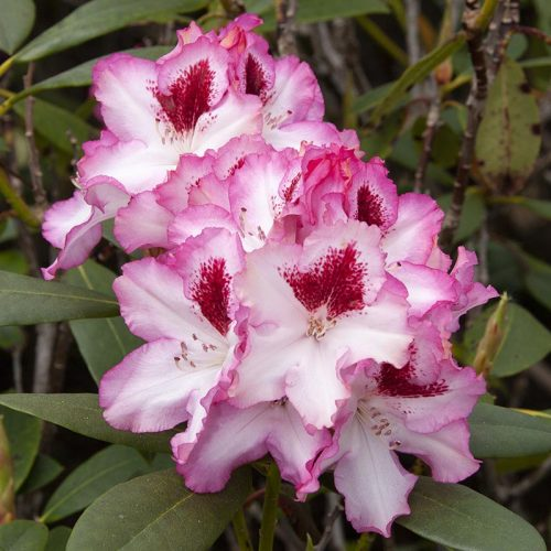 Rhododendron_hybr_Hachmanns_Charmant_KUS_3612