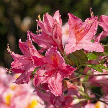 Rhododendron_hybr_Jolie_Madame_KUS_7421