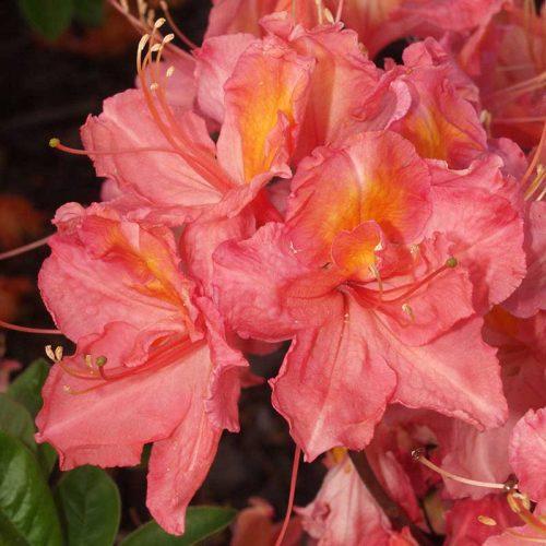 Rhododendron_hybr_Juanita_U_3