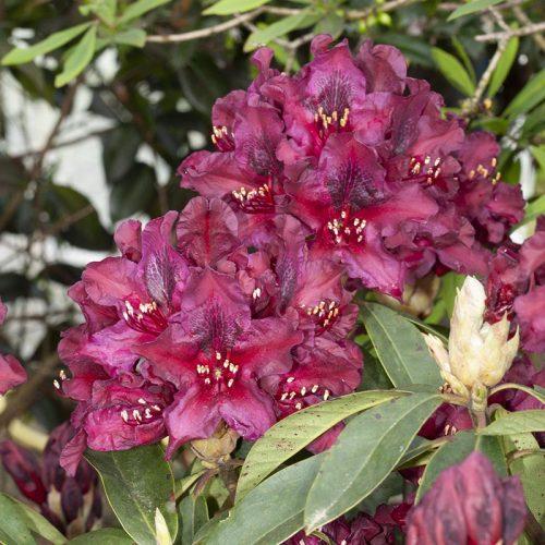 Rhododendron_hybr_Kali_KUS_7988