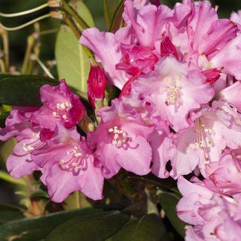 Rhododendron_hybr_Kalinka_KUS_8814