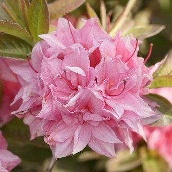 Rhododendron_hybr_Kilian_U_1