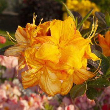 Rhododendron_hybr_Klondyke_U_4460