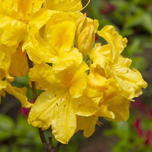 Rhododendron_hybr_Limette_KUS_3033