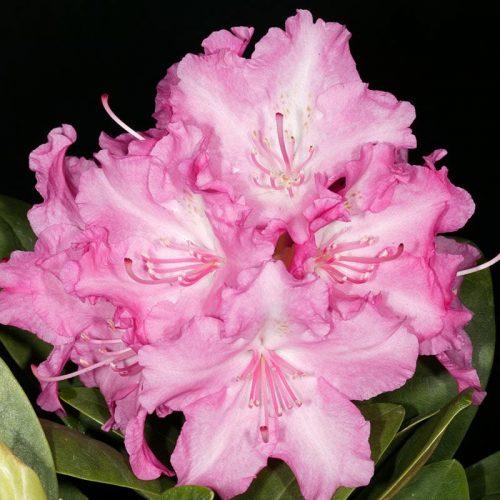 Rhododendron_hybr_Lumina_U_5
