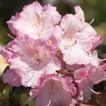 Rhododendron_hybr_Marlis_KUS_7446