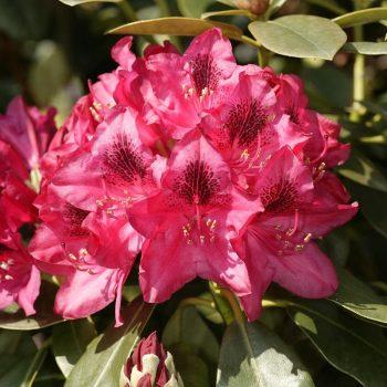 Rhododendron_hybr_Nova_Zebmla_U_4