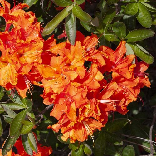 Rhododendron_hybr_Orange_Hit_KUS_8287
