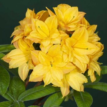 Rhododendron_hybr_Orangenkopchen_KUS_2040