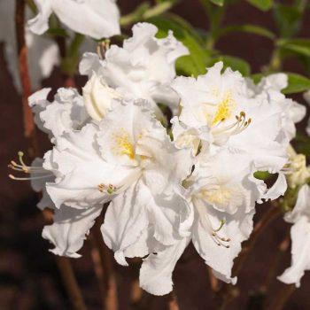 Rhododendron_hybr_Oxydol_U_1488