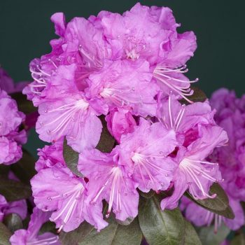 Rhododendron_hybr_PJM_Elite_U_1598