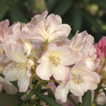 Rhododendron_hybr_Percy_Wiseman_U_1